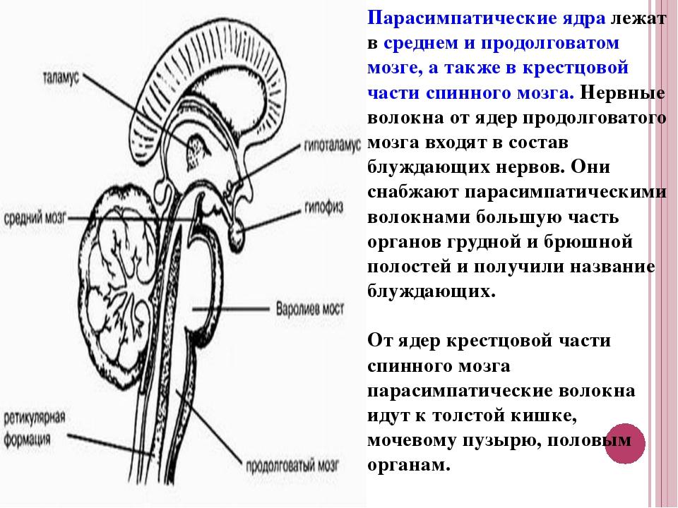 Парасимпатические ядра лежат в среднем и продолговатом мозге, а также в крест...
