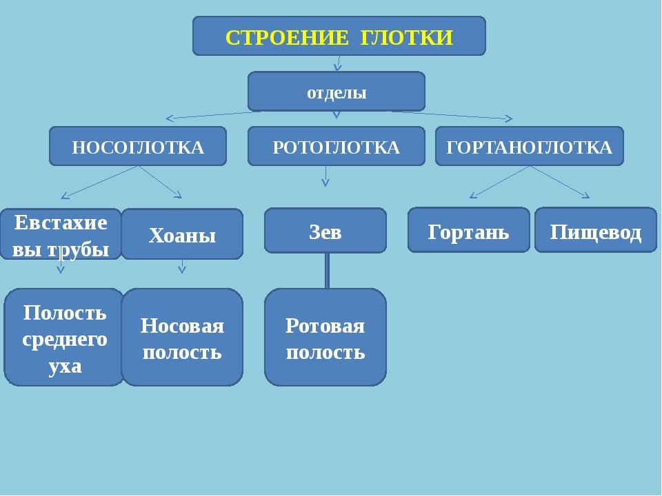 СТРОЕНИЕ ГЛОТКИ отделы НОСОГЛОТКА РОТОГЛОТКА ГОРТАНОГЛОТКА Евстахиевы трубы П...