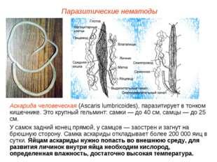 Паразитические нематоды Аскарида человеческая (Ascaris lumbricoides), паразит