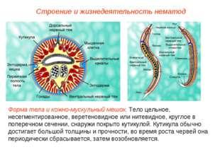 Строение и жизнедеятельность нематод Форма тела и кожно-мускульный мешок. Тел