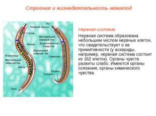 Строение и жизнедеятельность нематод Нервная система Нервная система образова