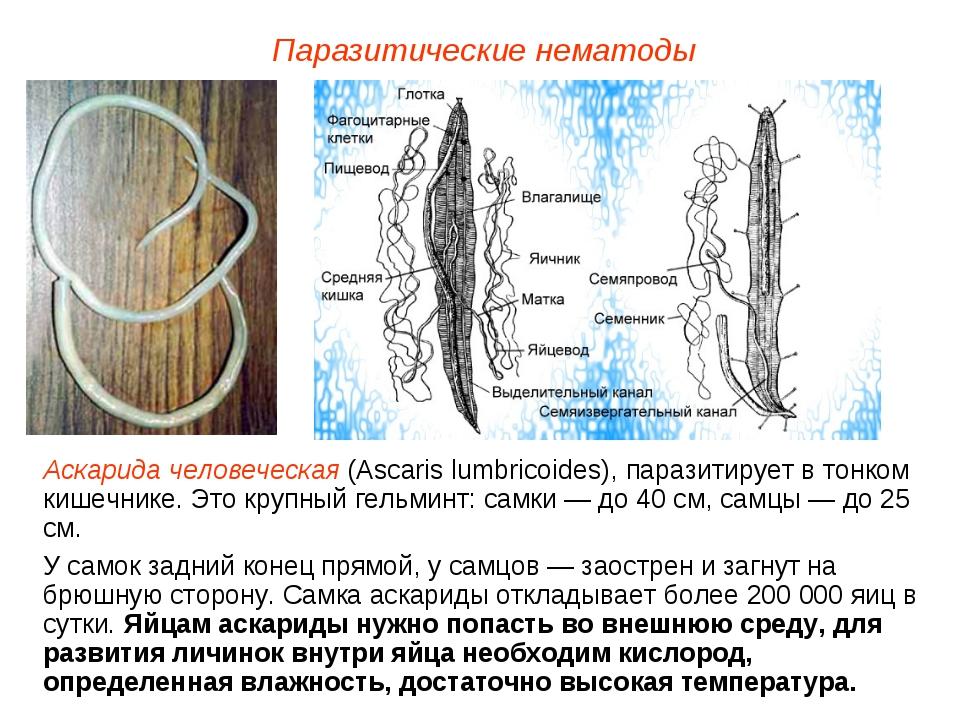 Паразитические нематоды Аскарида человеческая (Ascaris lumbricoides), паразит...