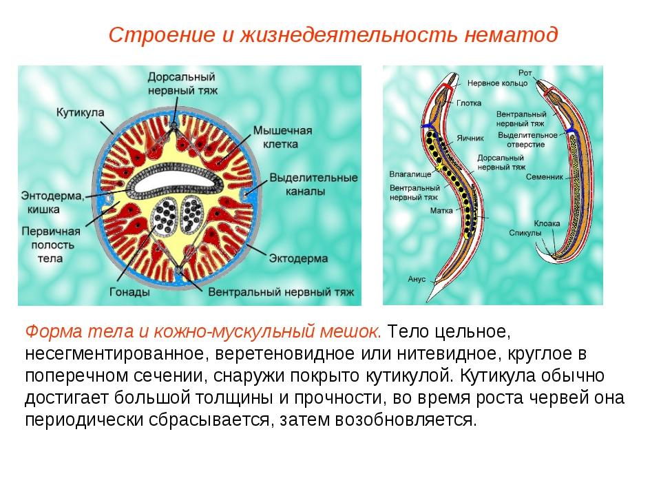 Строение и жизнедеятельность нематод Форма тела и кожно-мускульный мешок. Тел...