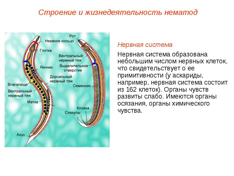 Строение и жизнедеятельность нематод Нервная система Нервная система образова...
