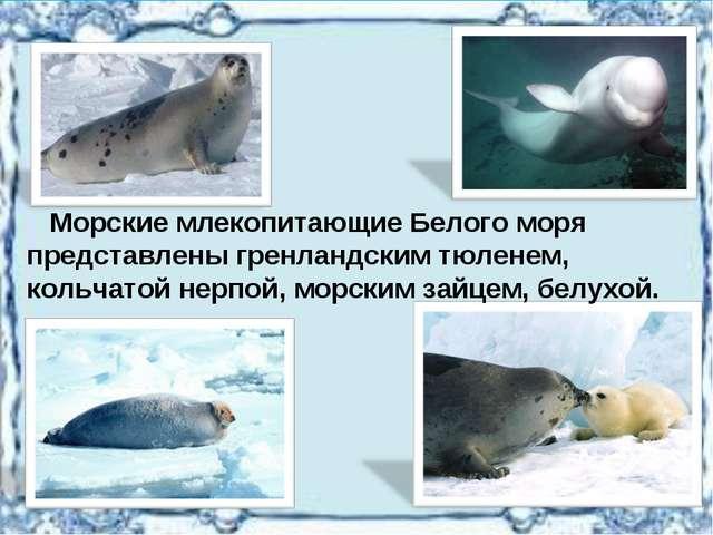 Морские млекопитающие Белого моря представлены гренландским тюленем, кольчат...