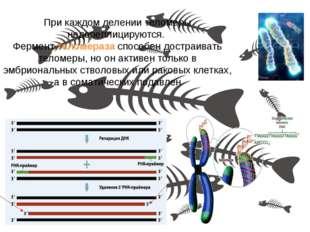 При каждом делении теломеры недореплицируются. Фермент теломераза способен до