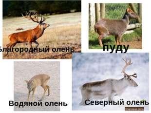 пуду Благородный олень Водяной олень Северный олень