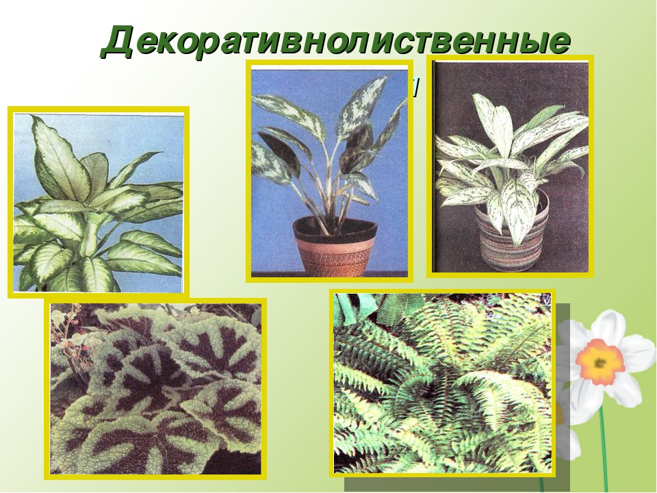 Декоративнолиственные растения