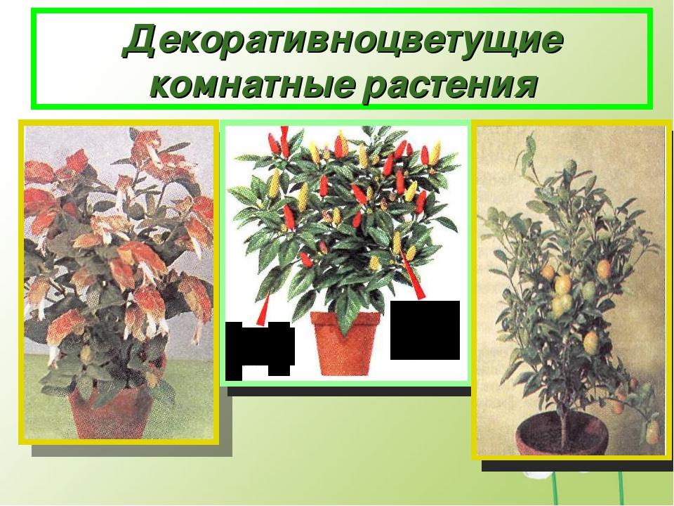 Декоративноцветущие комнатные растения