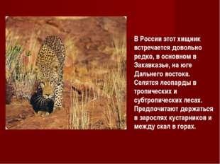 В России этот хищник встречается довольно редко, в основном в Закавказье, на