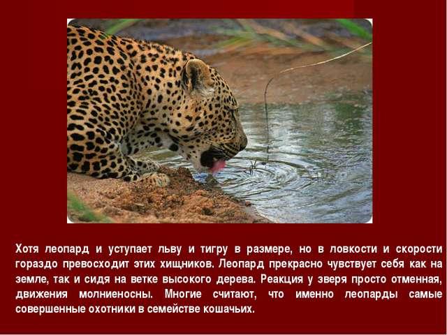 Хотя леопард и уступает льву и тигру в размере, но в ловкости и скорости гора...