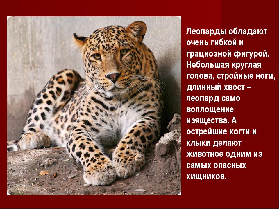 Леопарды обладают очень гибкой и грациозной фигурой. Небольшая круглая голова...