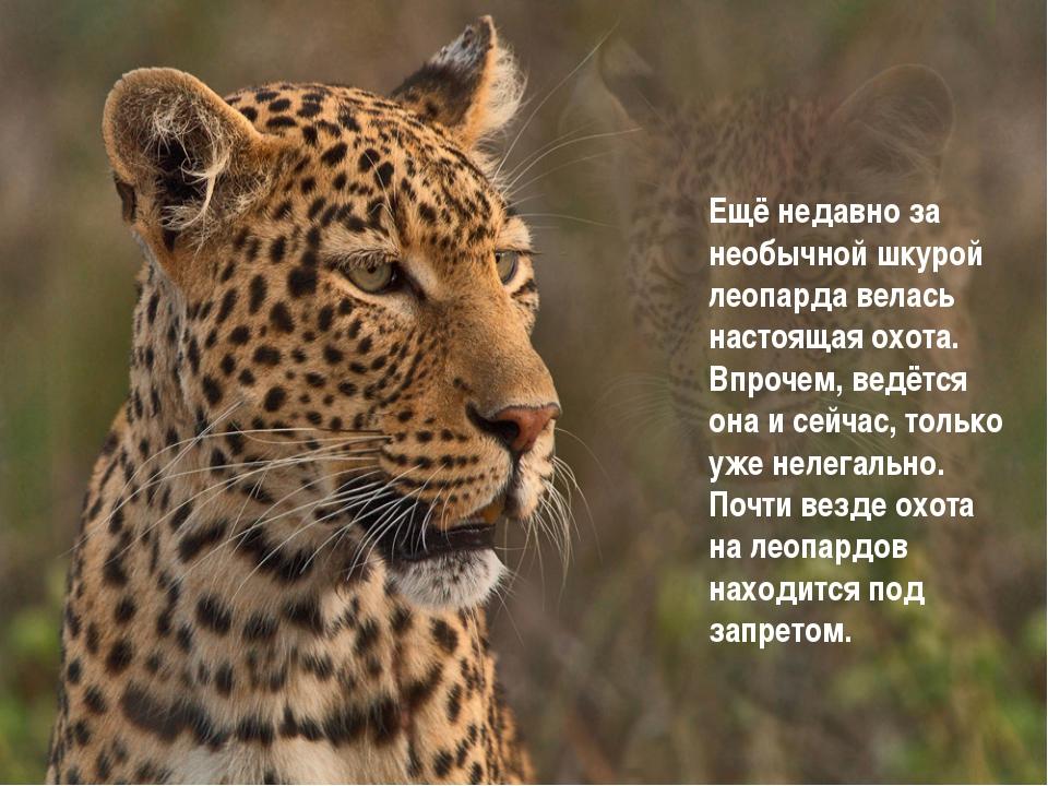Ещё недавно за необычной шкурой леопарда велась настоящая охота. Впрочем, вед...