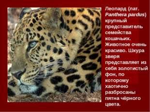 Леопард (лат. Panthera pardus) крупный представитель семейства кошачьих. Живо