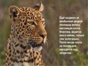 Ещё недавно за необычной шкурой леопарда велась настоящая охота. Впрочем, вед