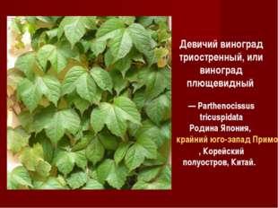 Девичий виноград триостренный, или виноград плющевидный — Parthenocissus tric