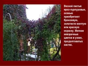 Весной листья ярко-пурпуровые, осенью приобретают бронзовую, золотисто-желтую