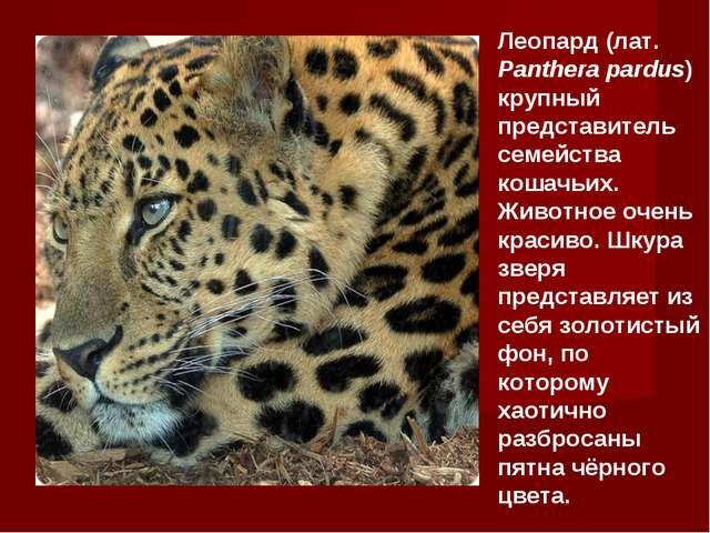 Леопард (лат. Panthera pardus) крупный представитель семейства кошачьих. Живо...