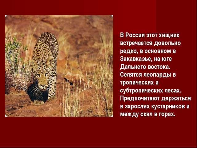 В России этот хищник встречается довольно редко, в основном в Закавказье, на...