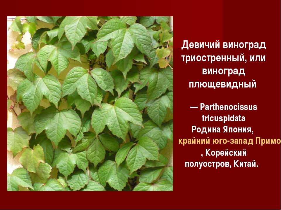 Девичий виноград триостренный, или виноград плющевидный — Parthenocissus tric...