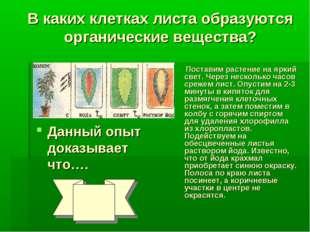 В каких клетках листа образуются органические вещества? Поставим растение на