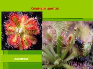 росянка Хищный цветок