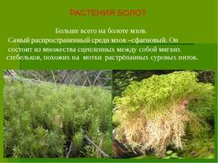 Больше всего на болоте мхов. Самый распространенный среди мхов –сфагновый. О