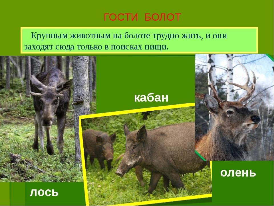ГОСТИ БОЛОТ Крупным животным на болоте трудно жить, и они заходят сюда только...