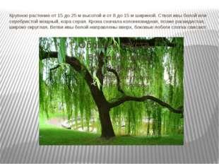 Крупное растение от 15 до 25 м высотой и от 8 до 15 м шириной. Ствол ивы бело