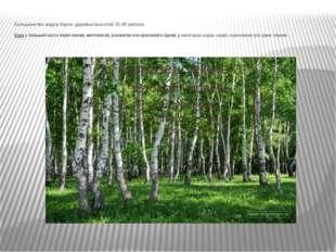 Большинство видов берез- деревья высотой 30-45 метров. Кора убольшей части б