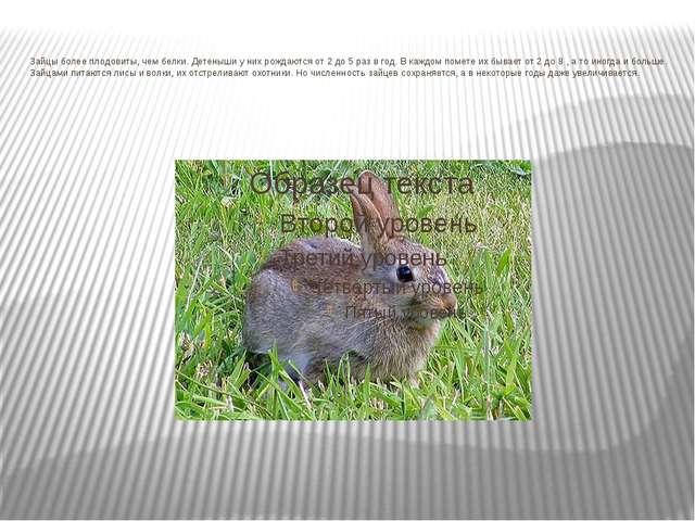 Зайцы более плодовиты, чем белки. Детеныши у них рождаются от 2 до 5 раз в го...