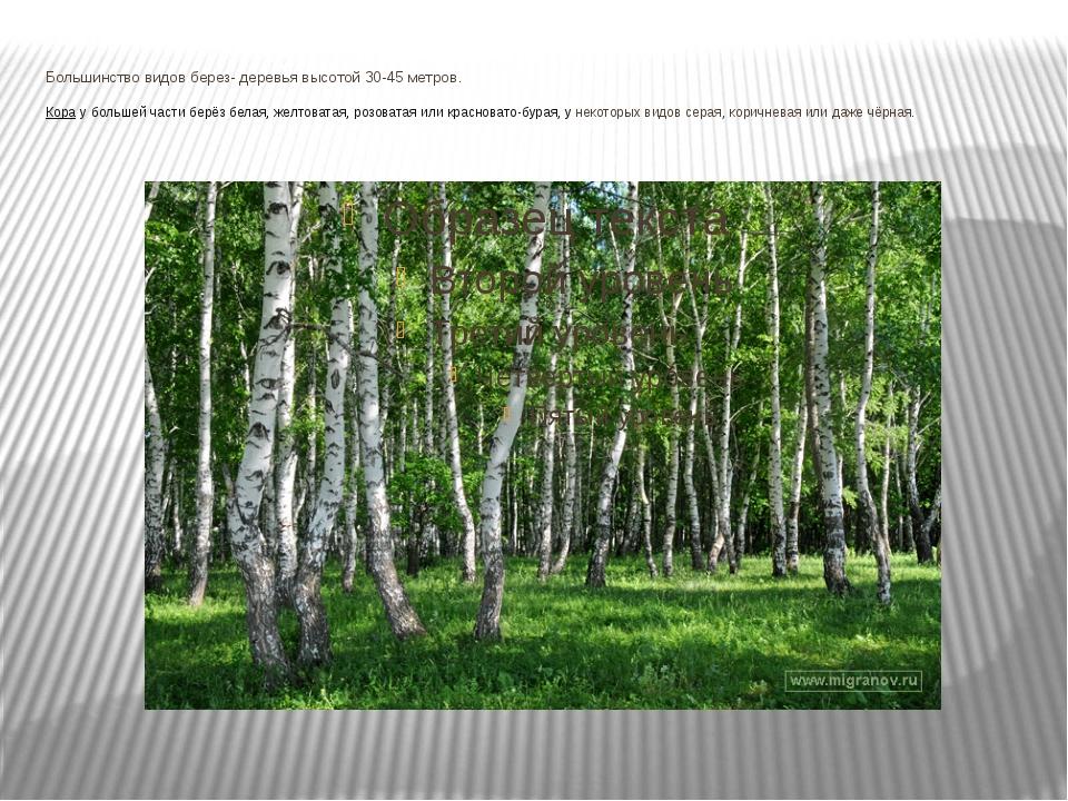 Большинство видов берез- деревья высотой 30-45 метров. Кора убольшей части б...