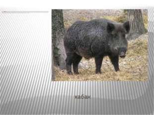 кабан Кабан—всеядноепарнокопытное нежвачное млекопитающее из родасвиней.
