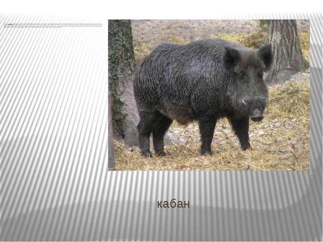 кабан Кабан—всеядноепарнокопытное нежвачное млекопитающее из родасвиней....