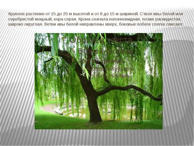 Крупное растение от 15 до 25 м высотой и от 8 до 15 м шириной. Ствол ивы бело...