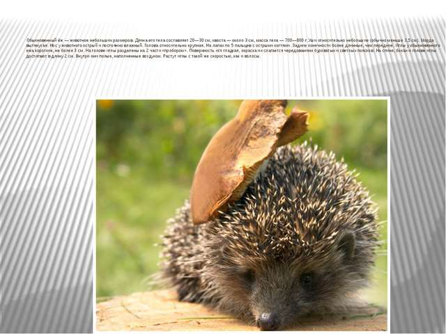 Обыкновенный ёж— животное небольших размеров. Длина его тела составляет 20—...