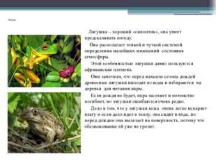 Лягушки. Лягушка – хороший «синоптик», она умеет предсказывать погоду. Она р