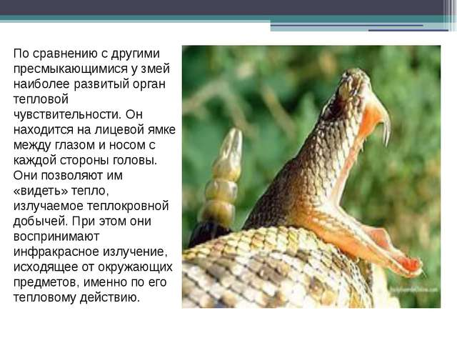 По сравнению с другими пресмыкающимися у змей наиболее развитый орган теплов...