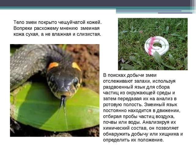 В поисках добычи змеи отслеживают запахи, используя раздвоенный язык для сбор...