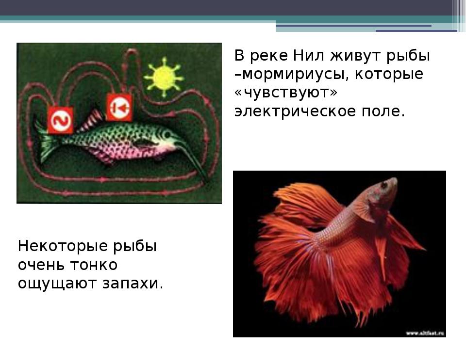 В реке Нил живут рыбы –мормириусы, которые «чувствуют» электрическое поле. Н...