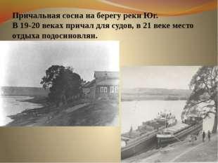 Причальная сосна на берегу реки Юг. В 19-20 веках причал для судов, в 21 веке