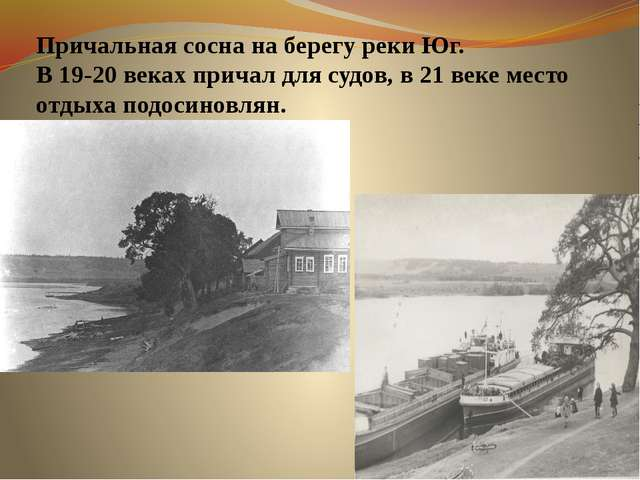 Причальная сосна на берегу реки Юг. В 19-20 веках причал для судов, в 21 веке...
