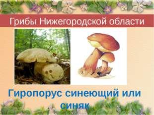Грибы Нижегородской области Гиропорус синеющий или синяк