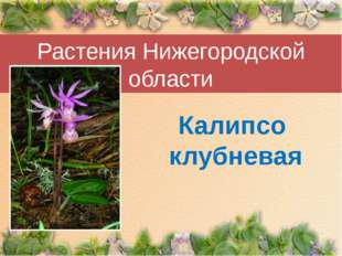 Растения Нижегородской области Калипсо клубневая