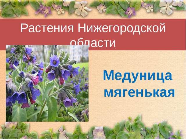 Растения Нижегородской области Медуница мягенькая
