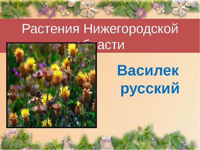 Растения Нижегородской области Василек русский