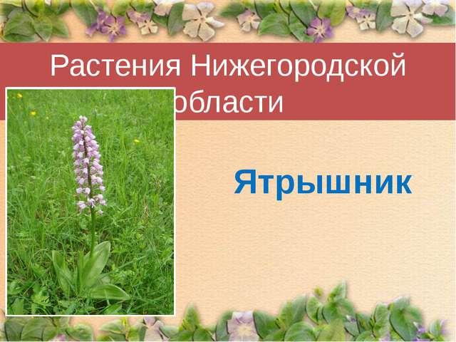 Растения Нижегородской области Ятрышник