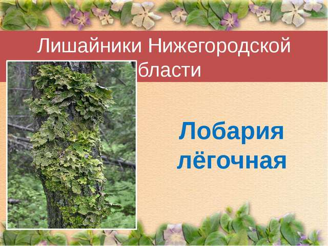 Лишайники Нижегородской области Лобария лёгочная