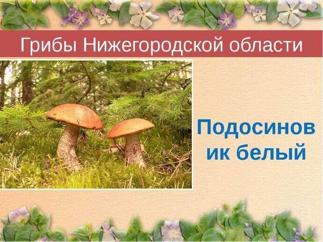 Грибы Нижегородской области Подосиновик белый