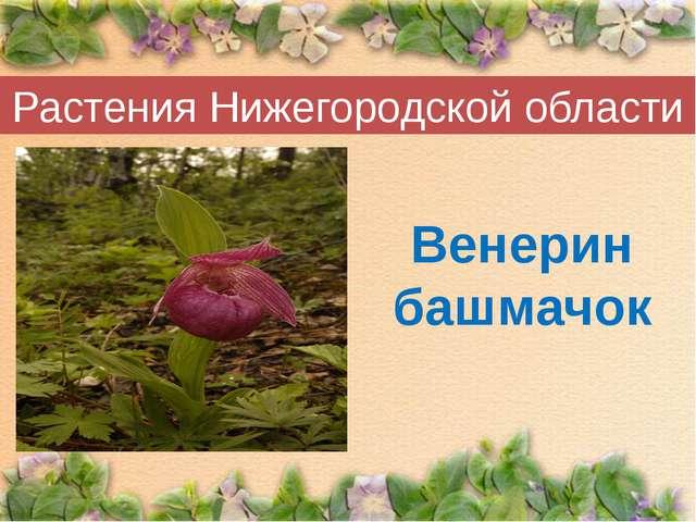 Растения Нижегородской области Венерин башмачок